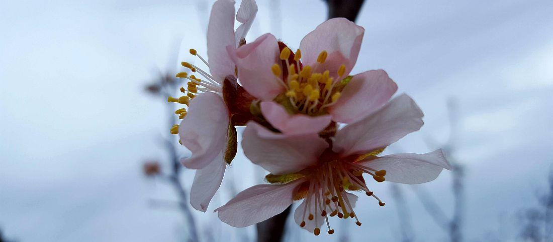 Mantelipuut kukkivat talvella